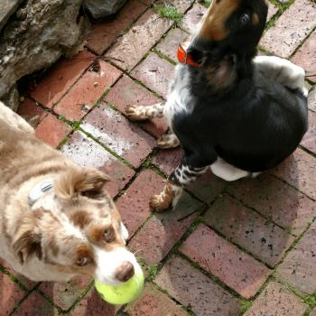 One dog with ball, one dog scratching